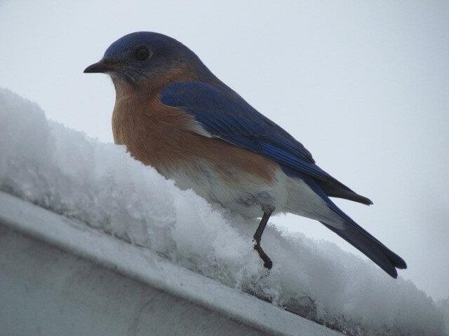 Bluebird.on.Snowy.Roof