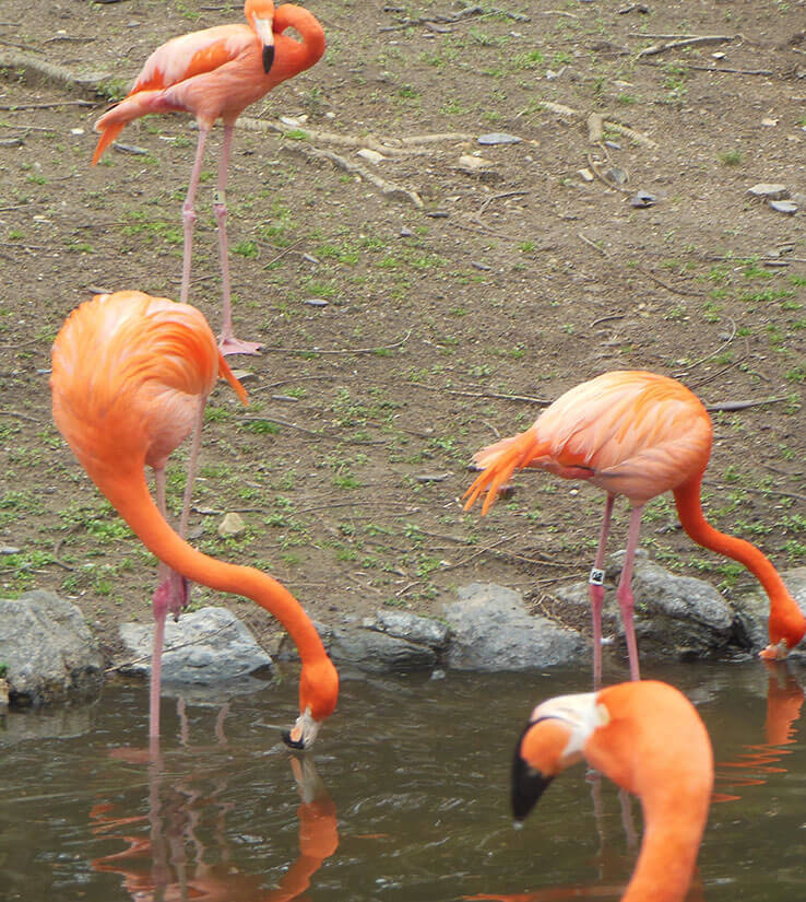 Cluster-of-Flamingos