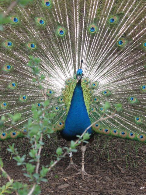 Peacock.Open.No.1